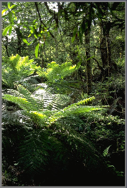 A typically lush scene in New Zealand's native bush. This photo was taken in the Whirinaki Forest.