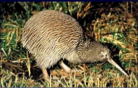The kiwi, NZ's beloved national bird & symbol. 'Kiwi' is also what NZers are called the world over. And when some enterprising NZers popularised the delicious Chinese Gooseberry they called it the kiwifruit. Click for more on kiwis (the bird that is).
